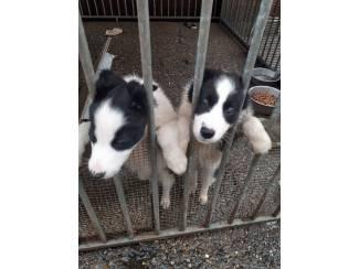 Te koop 2 corderbollie pups