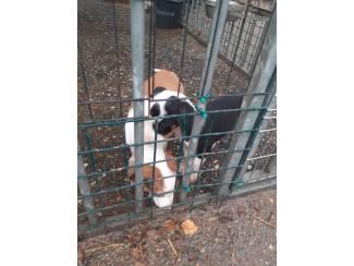 Honden en Puppy's Te koop groten boere fox pups