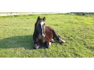 Pony's Lieve 2 jarige zwarte Welsh merrie