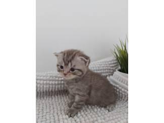 Britse langharige tabby kittens te koop