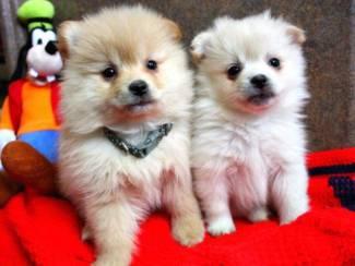 Prachtige Pommerse pups