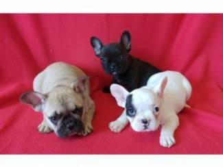 Mooie Franse bulldog pupjes