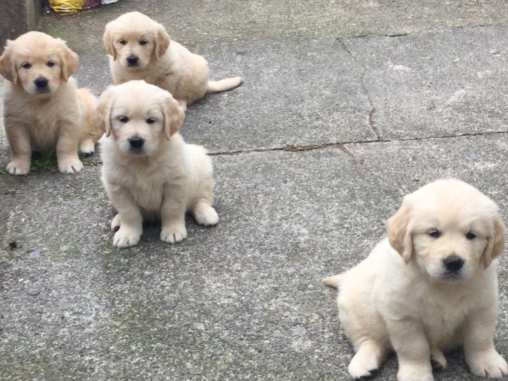 Golden Retriever-puppy's