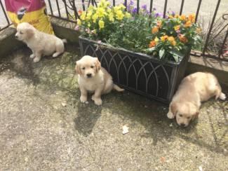 Honden en Puppy's Golden Retriever-puppy's