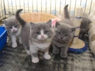 Britse kortharige kittens