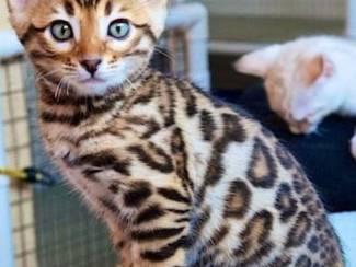 5 Bengaalse kittens beschikbaar