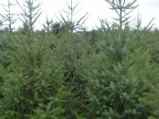 kerstbomen b keuze voor maar 5 euro per stuk