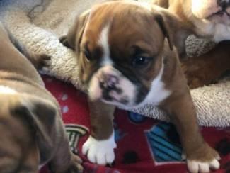 Honden en Puppy's Schattige Engelse buldogpuppy klaar voor herplaatsing