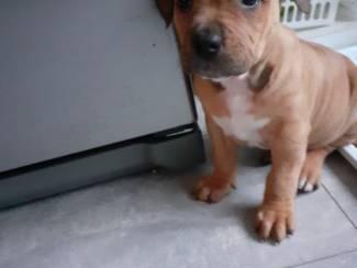 Honden en Puppy's Amirkaanse buik stefford pup
