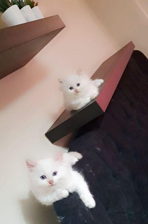 Ragdoll Kittens te koop