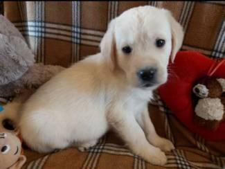 Golden Retriever pup voor adoptie
