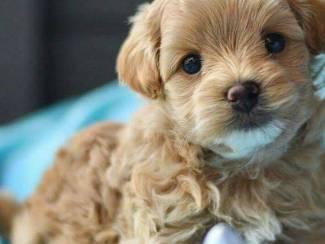 Maltipoo pup ter adoptie %%%%%%%%
