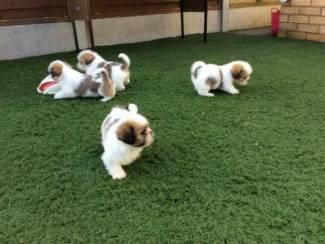 Shih Tzu-puppy's