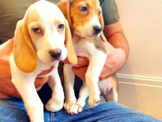 Mooie beagle pup voor adopti