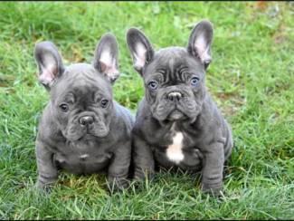 Franse Bulldog Puppies voor een nieuw huis