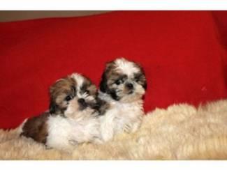 Shih Tzu puppies een huis aan iemand die zorg heeft
