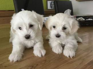 Geregistreerde maltezer-pups