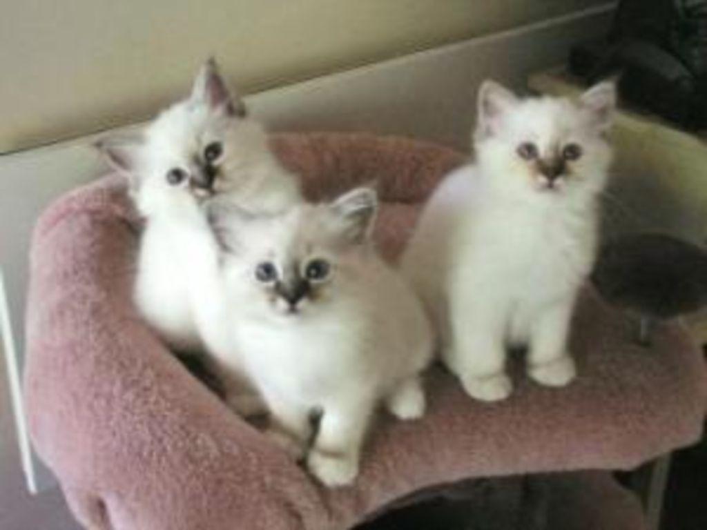 ! schattige mannelijke en vrouwelijke Ragdoll-kittens !