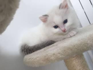3 Ragdoll Kittens te koop 2 Jongens 1 Meisje