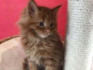 Katten Schattige Maine-wasbeer dwarskatjes klaar te vertrekken