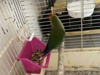 Vogels | Papegaaien Koppel dwergpapegaai