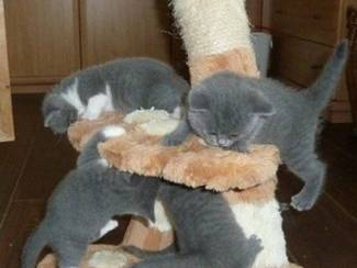 Blauwe Britse korthaar kittens beschikbaar.