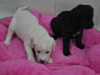 Twee Mooie kwaliteit Labrador Puppies