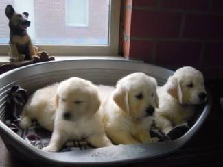 Honden en Puppy's Mooie Golden Retriever pups .