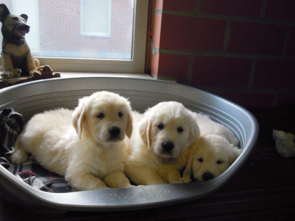 Mooie Golden Retriever pups .