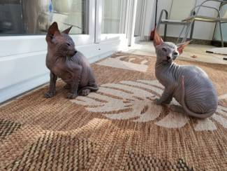 Twee Mooie Sphynx Kittens aangeboden