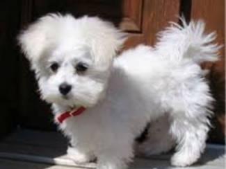 Maltezer Pups