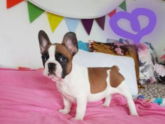 Franse Bulldog-puppy's