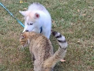 Siberische Husky-puppy's te koop