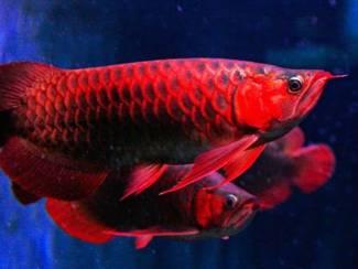 beste kwaliteit arowana vis te koop tegen goede prijzen.