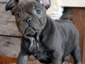 Honden en Puppy's Franse Bulldog-puppy's Op zoek naar nieuwe huizen
