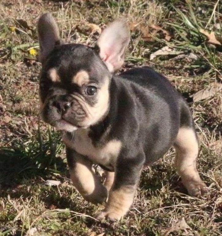 Franse Bulldog-puppy's Op zoek naar nieuwe huizen