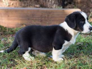 Honden en Puppy's Corgi pups