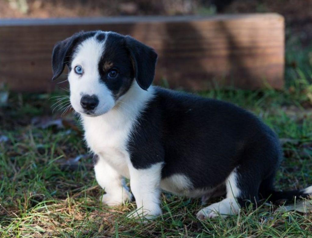 Corgi pups