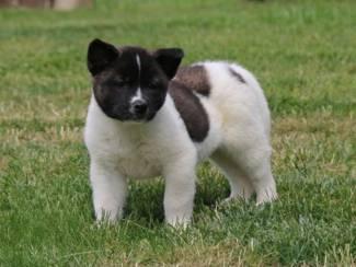Honden en Puppy's Akita Inu Pups Siano