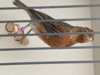 Vogels | Toebehoren Fluitende harlekijn kanarie mannen 2021