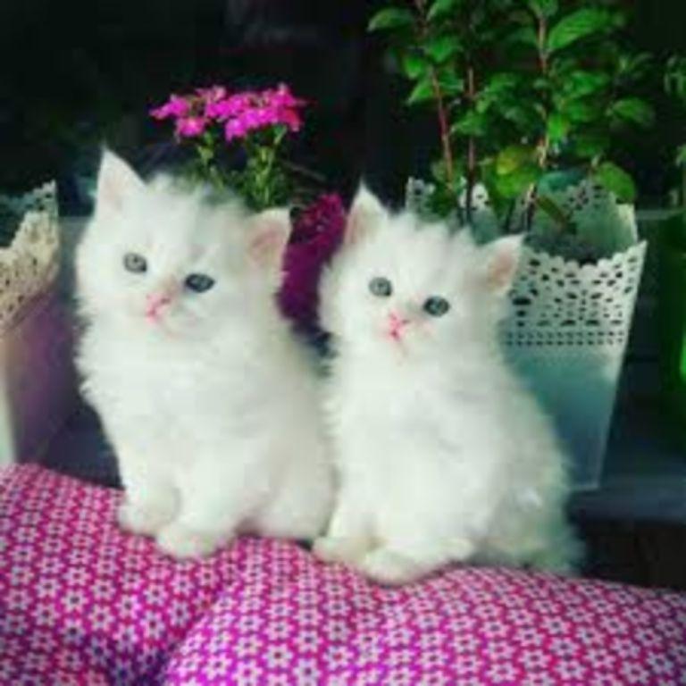 uitstekende Perzische kitten voor adoptie