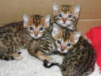gezonde bengaalse kittens voor adoptie
